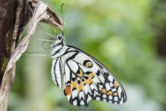 A white, black and orange tropical butterfly stock image