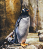 White and Black Penguin in Selective Focus Photography Stock Image