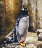 White and Black Penguin in Selective Focus Photography Stock Photo
