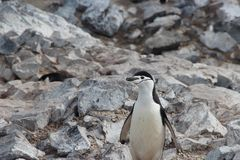 White and Black Penguin Standing Beside Grey Stone Royalty Free Stock Images