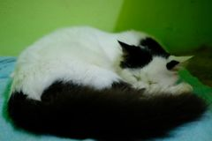 White and black Persian cat sleep royalty free stock image