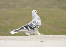 White black pigeon. Black pigeon different kind of birds genera from Urfa province, Turkey Stock Photography