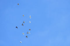 White and black pigeons flying Stock Photo
