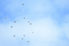 White and black pigeons flying. In the blue sky, sunny day in Moldova Stock Images