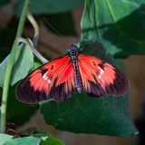 White, black, pink, red longwing butterfly on green leaves. White, black, pink red longwing possibly postman butterfly on green leaves photographed at the royalty free stock images