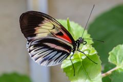 White, black, pink, red longwing butterfly on green leaves. White, black, pink red longwing possibly postman butterfly on green leaves photographed at the royalty free stock photos