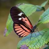White, black, pink, red piano key longwing butterfly on a green leaf. Photographed at the Butterfly World Coconut Creek Florida FL United States US. Folded royalty free stock image