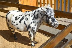 White and Black Pony Royalty Free Stock Images