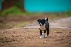 White and black Puppy stock photo