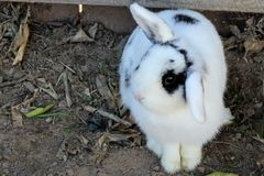 White and Black Rabbit on Brown Soil Royalty Free Stock Images