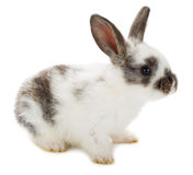 White-black rabbit Royalty Free Stock Photo