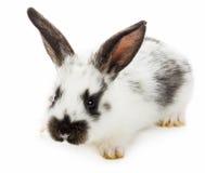 White-black rabbit Royalty Free Stock Image