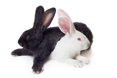 White and black rabbits. Two rabbits white and black shot against white background Royalty Free Stock Image