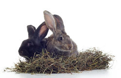 White and black rabbits. Two rabbirs white and black in the hay shot against white background Royalty Free Stock Images