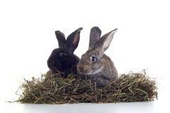 White and black rabbits. Two rabbirs white and black in the hay shot against white background Stock Images