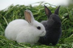 White and black rabbits on the grass. closeup.  stock photo