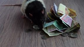 White and black rat walks around coins and banknotes stock video