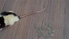 White and black rat walks around coins. US quarters stock video footage