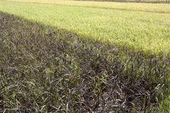 White and Black rice paddy in field Royalty Free Stock Photography