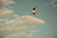 White Black Sea Gull in Sky Royalty Free Stock Photography