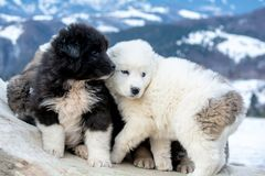 Sheep dog pups in Transylvania winter time. White and black sheep dog pups in Transylvania winter time royalty free stock photo