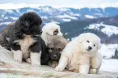 Sheep dog pups in Transylvania winter time. White and black sheep dog pups in Transylvania winter time royalty free stock images