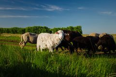 White and black sheep eating grass. Domestic animals on sheepfold. Royalty Free Stock Image