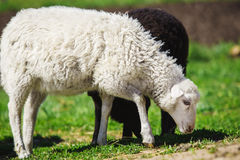 White and black sheep eating grass. Domestic animals on sheepfold. Stock Image