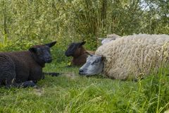 White and black sheep are lying in the grass. White and black sheep lying in the grass on a hot summer day Royalty Free Stock Image