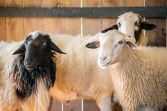 White and black sheeps. On the farm Stock Image