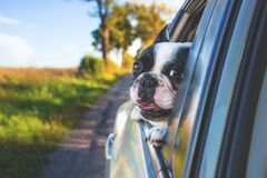 White and Black Short Coat Puppy on Black Window Car Stock Image