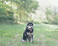White and Black Siberian Husky at Green Grass Field Near Trees during Daytime Stock Image