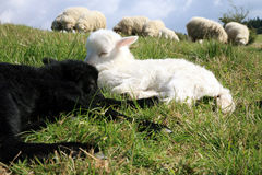 White and black sleeping lambs. Stock Photo