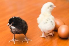 White and black small chickens and two chicken eggs on a wooden surface stock photos