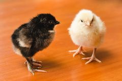 White and black small chickens on a wooden surface royalty free stock photos