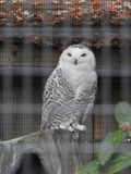 Closeup of Snowy Owl in a Zoo. White black spelled feathers arctic bird avian migratory predatory Royalty Free Stock Photos