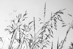 White and black spikelets against sky in backlight background. White and black spikelets against sky in backlight monochrome background royalty free stock images