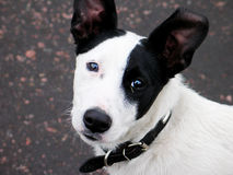 White with black spots dog Royalty Free Stock Photos