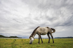 White-black spots horse. Eating grass on green field background with blue mountain and dark cloud stock photo