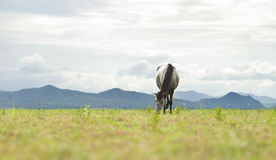 White-black spots horse eating grass on green field. White-black spots horse running on green field background with blue mountain and dark cloud royalty free stock image