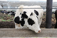 White with black spots milking cow eats feed on cow farm stock images