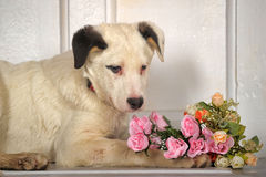 White black spots puppy with a bouquet of roses Stock Image