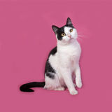 White and black spotted cat sitting on pink Stock Photos