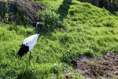 White and black stork bird. In a green field Stock Photo