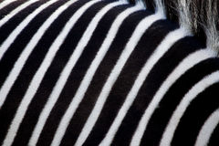 White and black stripes of a zebra. Royalty Free Stock Images