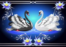 White and black swan and lilies. Elegant white and black swan on blue background with lilies Royalty Free Stock Photos