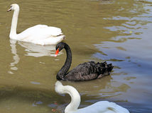 White and black swan Royalty Free Stock Images