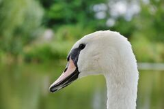 White and Black Swan in Sahllowphotography Royalty Free Stock Photography