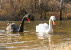 White and black swans Stock Photo