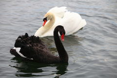 White & black Swans Stock Photos